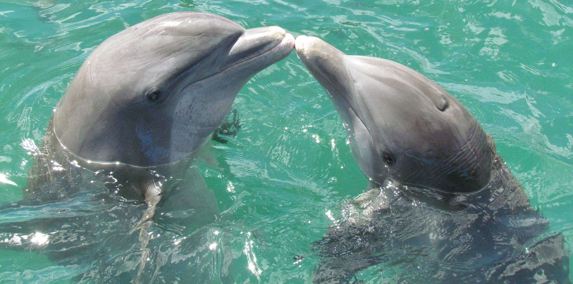 Two bottle nose dolphins: Dolphins in captivity