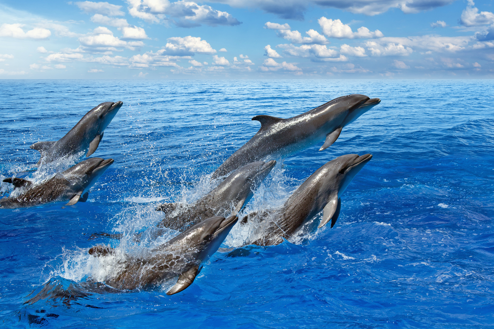 A Pod Dolphins: Differences between whales and dolphins