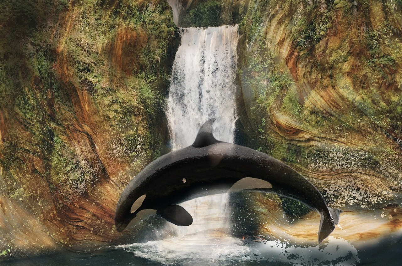 The Orca Whale Often Leaps Out of water