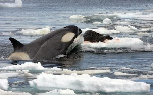 An Orca attacking a seal on ice