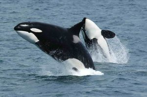 Orcas (killer whales) swimming