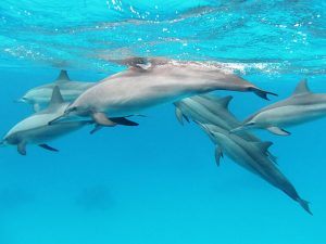 Spinner Dolphins: Best Places to see wild Dolphins