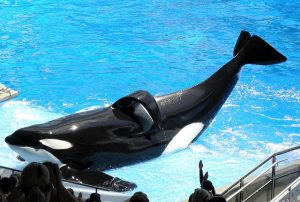 The Bull Orca Tilikum At SeaWorld