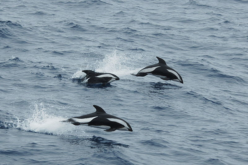 Hourglass Dolphins In The Drake Passage: Hourglass Dolphin Profile