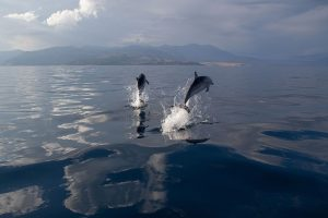 Striped Dolphins Leaping In The Gulf of Corinth, Greece