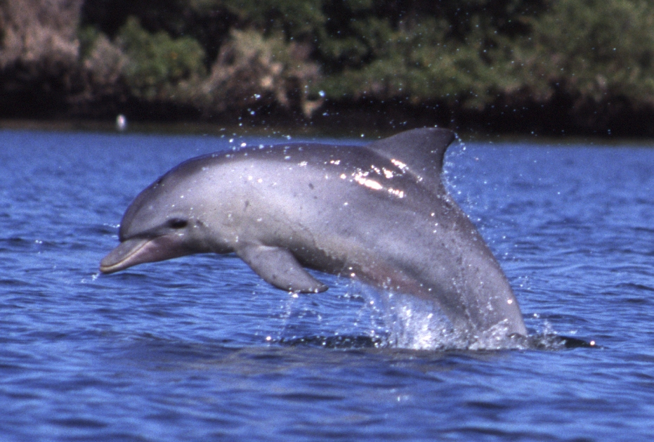 An Indo-Pacific Bottlenose Dolphin