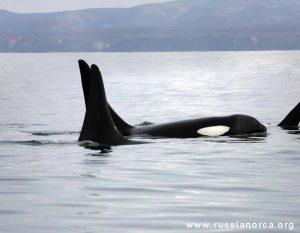 Russia's Killer Whale Trade