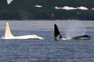 White killer whale