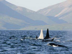 Iceberg: White Killer Whales