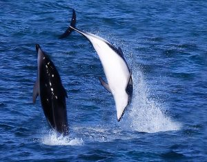 Acrobatic Display : Dusky Dolphin