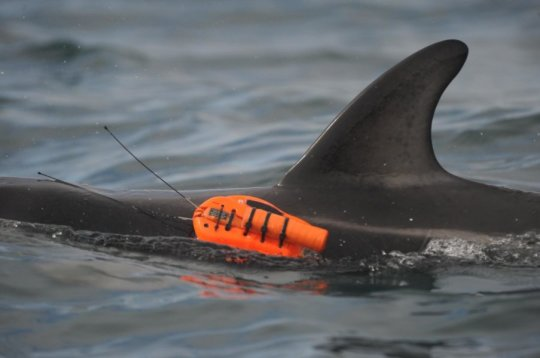 One of the Dusky Dolphins With Suction Camera Attached